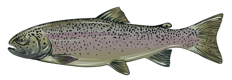 Rainbow Trout stock illustration