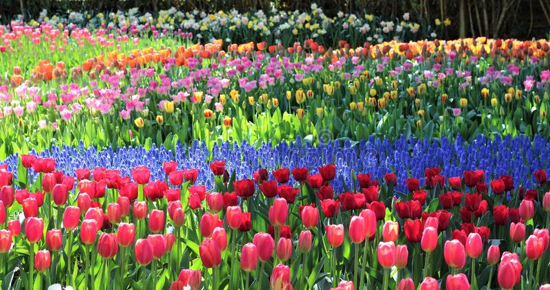 A rainbow of tulips in dappled sun at Roozengaarde during the Skagit Valley Tulip festival stock images