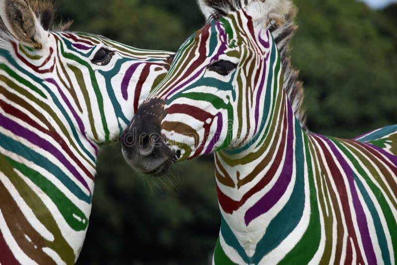 Rainbow Zebra playing royalty free stock photo
