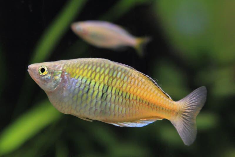 rainbowfish женщины аквариума стоковые фото