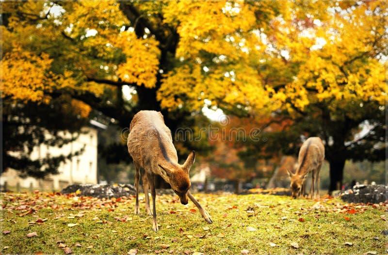 Raindeeer en Nara fotos de archivo