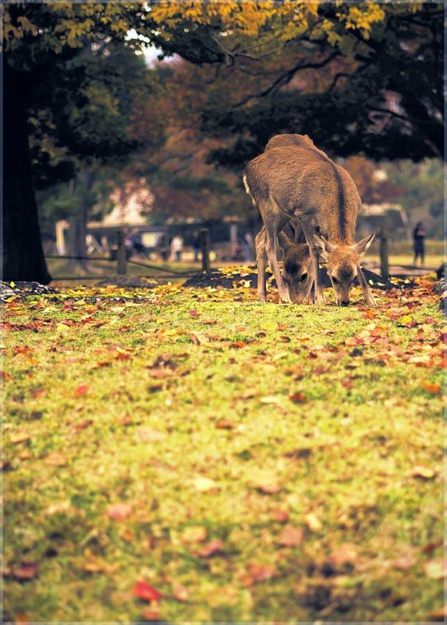 Raindeeer en Nara imagen de archivo libre de regalías
