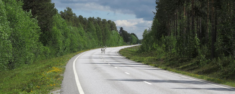 Raindeers korsning väg, Sverige royaltyfria bilder