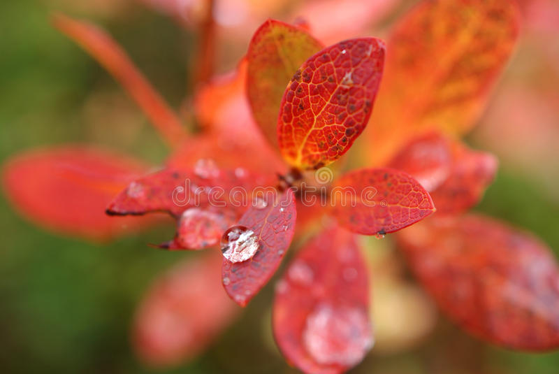 Raindrop On Autumn Leaf. A raindrop on a leaf of Bog Bilberry in autumn colours royalty free stock photos