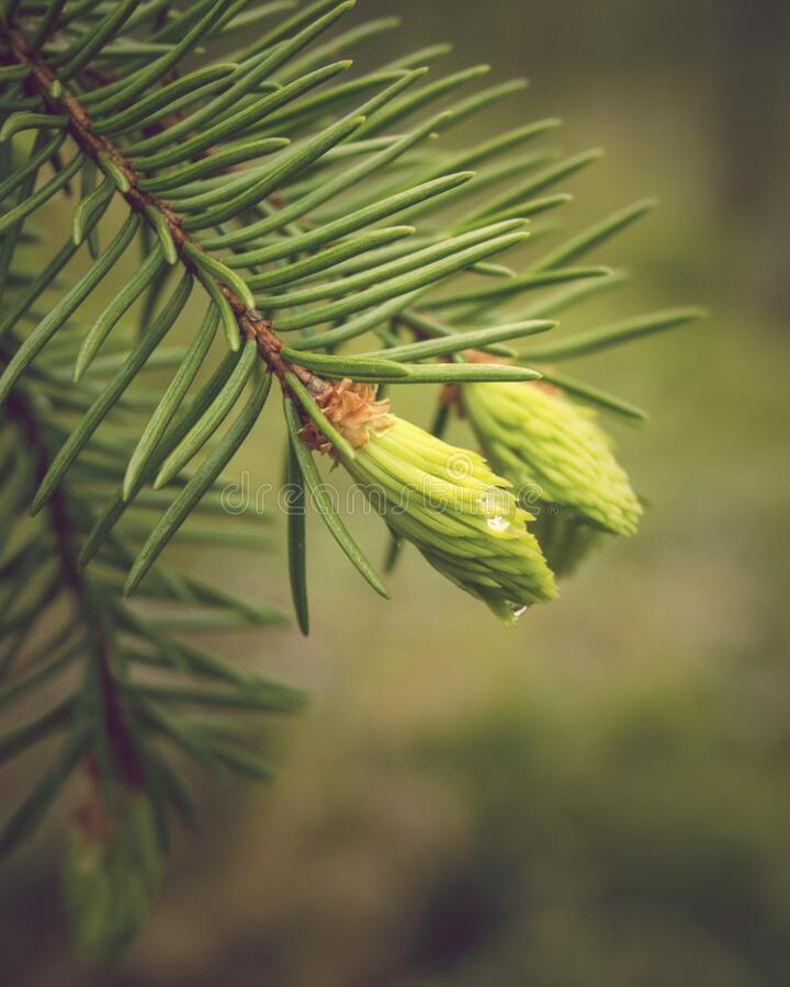Raindrop on fir tree bud. royalty free stock images