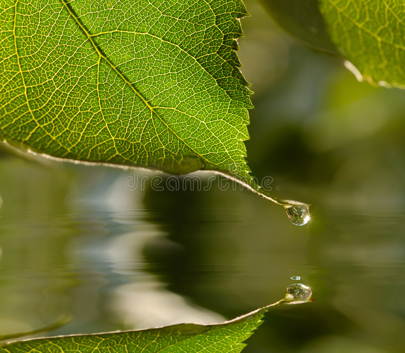 Raindrop on leaf. Raindrop hanging on leaf tip reflects in water stock image