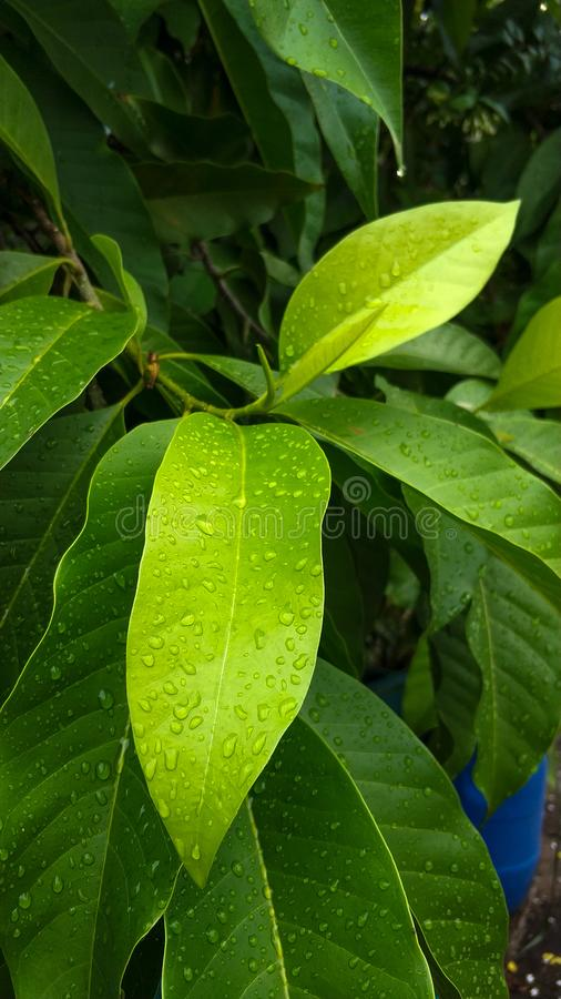 Raindrop. On the tree leaf royalty free stock photography