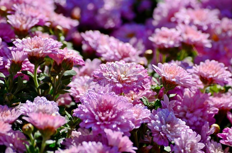 Raindrops on beautiful pink chrysanthemum flowers in the garden, traditional autumn flower.  royalty free stock images