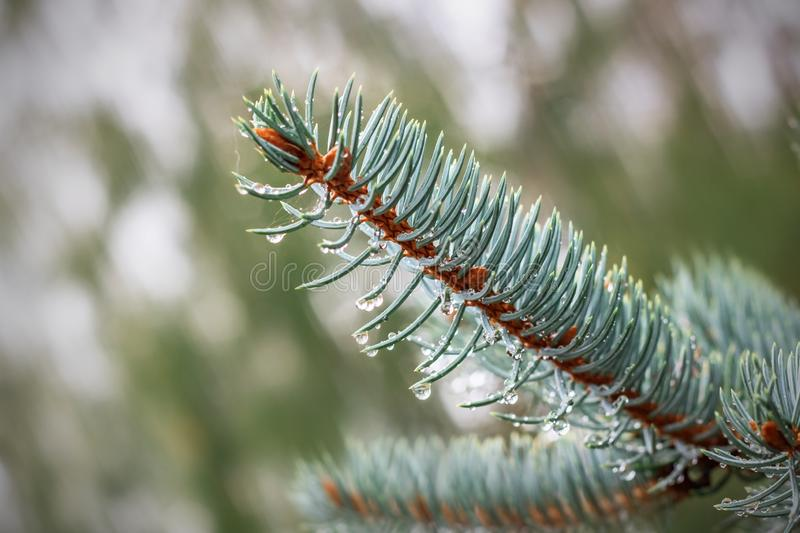Raindrops on a branch of blue spruce stock images