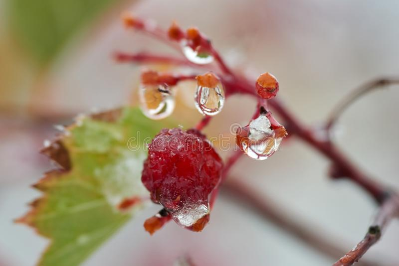 Raindrops on a branch of mountain ash. A drop or droplet is a small column of liquid, bounded completely or almost completely by free surfaces stock photos