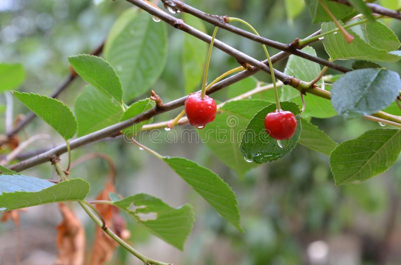 Cherry after rain, drops of rain on cherry in the garden, double red ripe cherry, stock photos