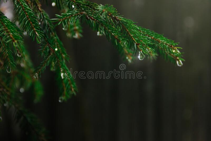 Raindrops on a coniferous tree branch in a forest during a thaw. Dark spring background. And place for text. Rays of light stock photo