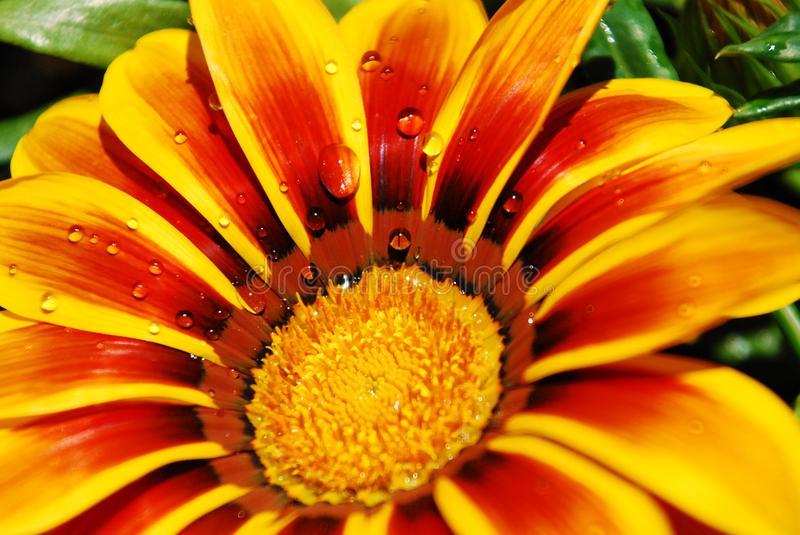 Raindrops on a flower of gazania. Small raindrops on a yellow and red gazania flower stock photography