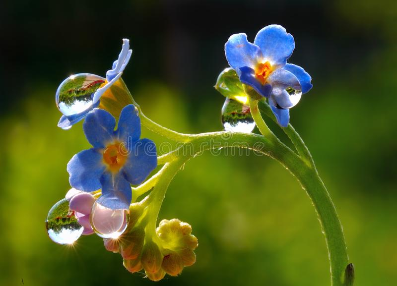 Raindrops on forget-me-not flowers stock photos