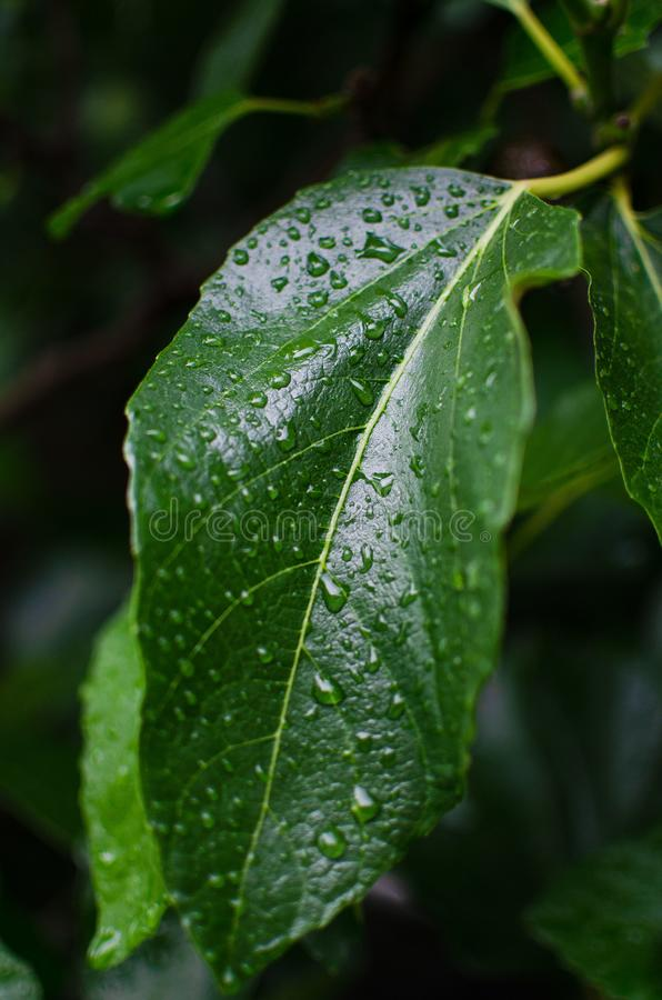 Raindrops on a green leaf of a pear tree royalty free stock photo