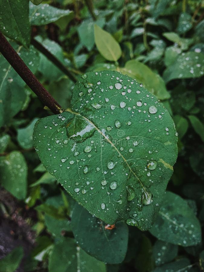 Raindrops on a green leaf royalty free stock image