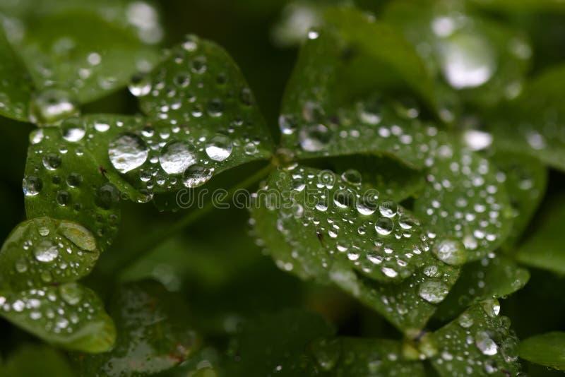 Raindrops on green leaves. Raindrops on freshness green leaves after rain stock images