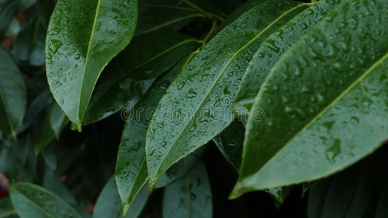 Wet leaves. stock photos
