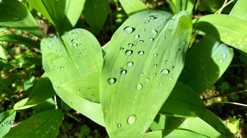 Raindrops on light-green leaves stock images