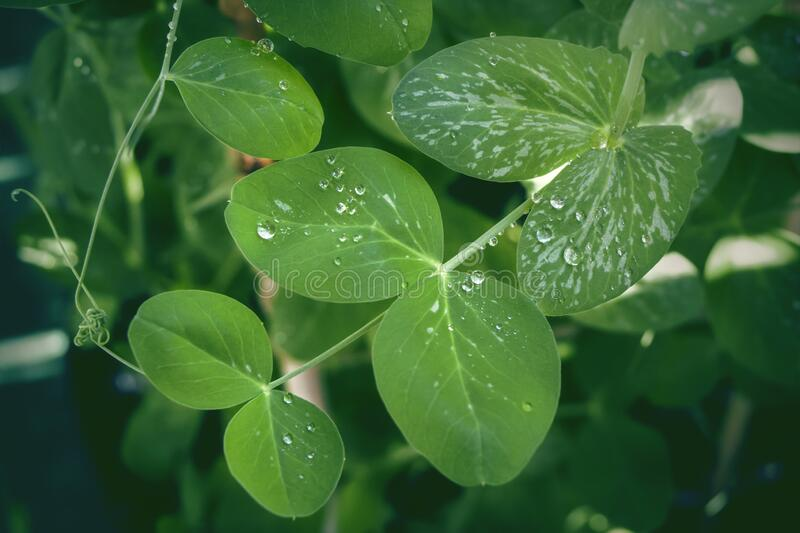 Raindrops on leaves of snow pea, mange-tout. stock photography