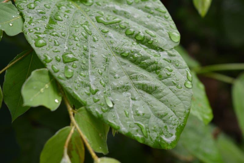 Raindrops On Leavs royalty free stock photos