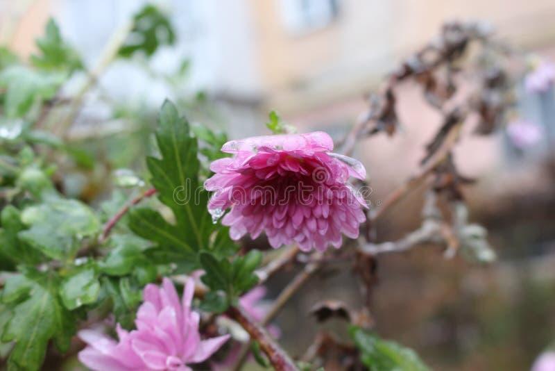 Raindrops marznęli na kwiatach fotografia stock