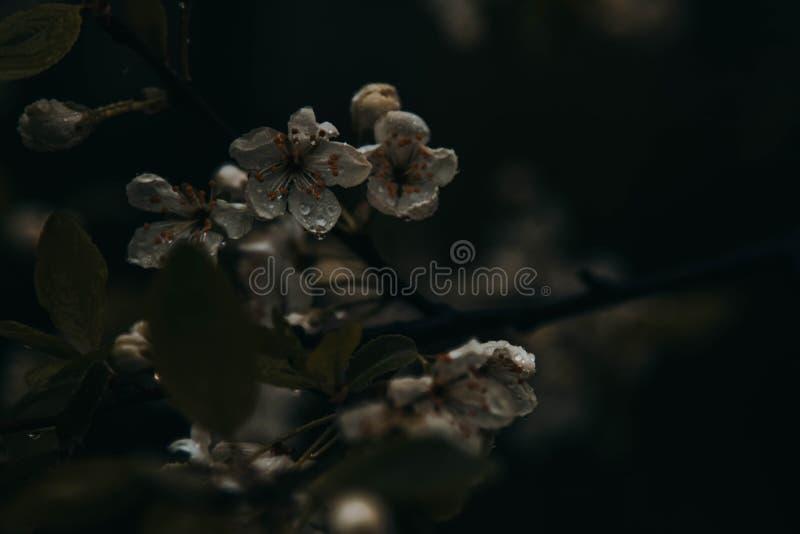 Raindrops na jabłoń kwiatach obraz stock