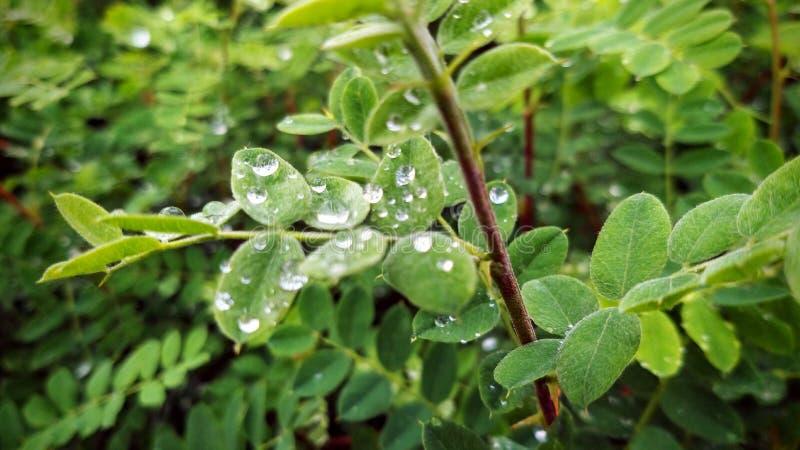 Raindrops na liściach akacja zdjęcie royalty free
