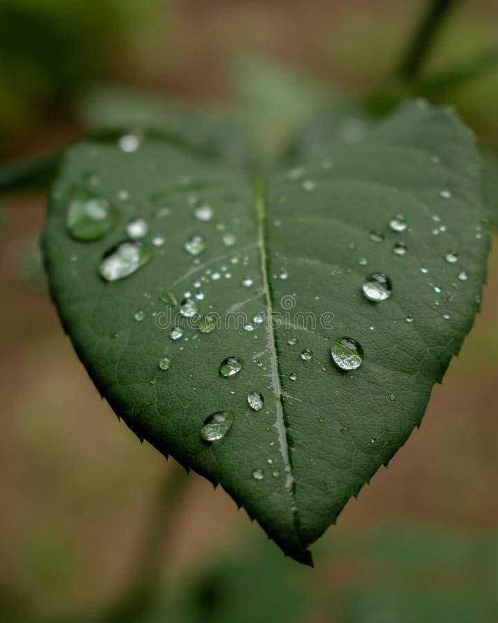 Raindrops na liściu obrazy stock