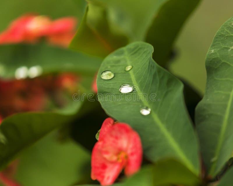 Raindrops na Zielonych liściach z zielenią zamazywali tło fotografia stock