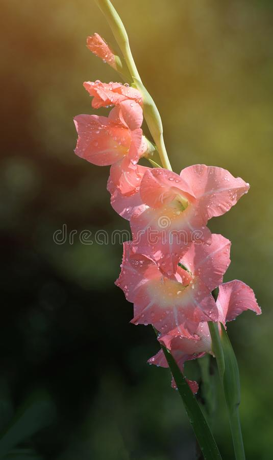 Free Raindrops On Pink Gladiolus Flowers Royalty Free Stock Images - 125867149