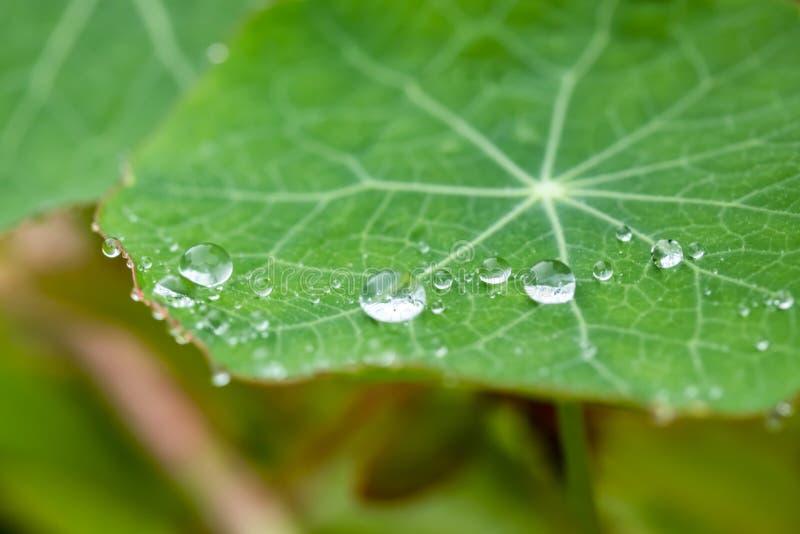 Raindrops op een groen nasturtiumblad in de zomer stock afbeelding
