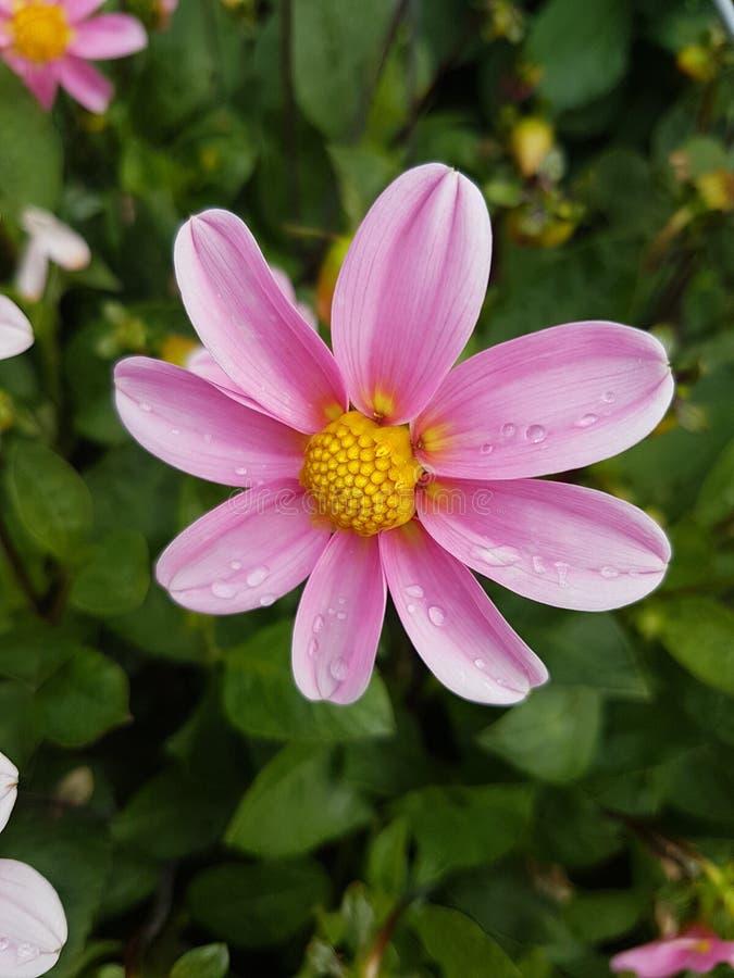 Raindrops on petals royalty free stock photography