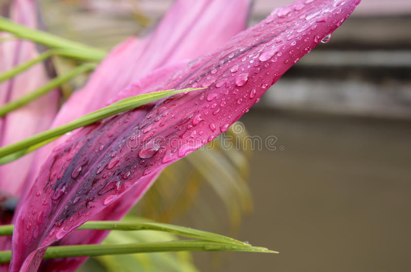 Raindrops on pink leaves, primary Rainforests, French Guiana stock photos