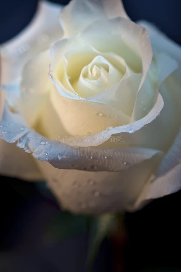 raindrops róży biel obrazy stock
