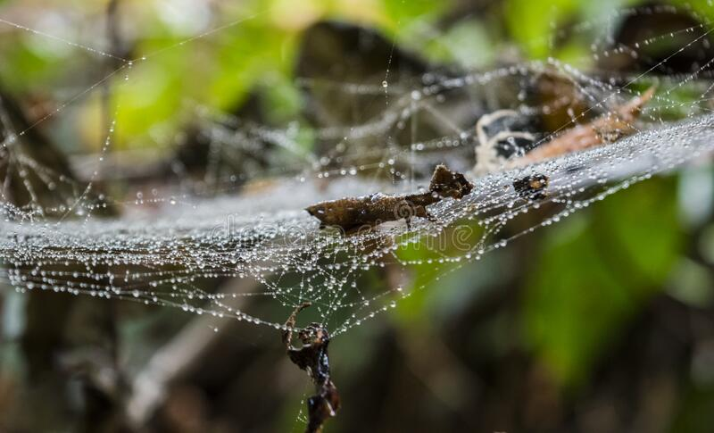 Raindrops in the spider web on a tree royalty free stock photos