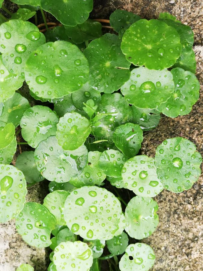 Raindrops on water pennywort leaves royalty free stock image