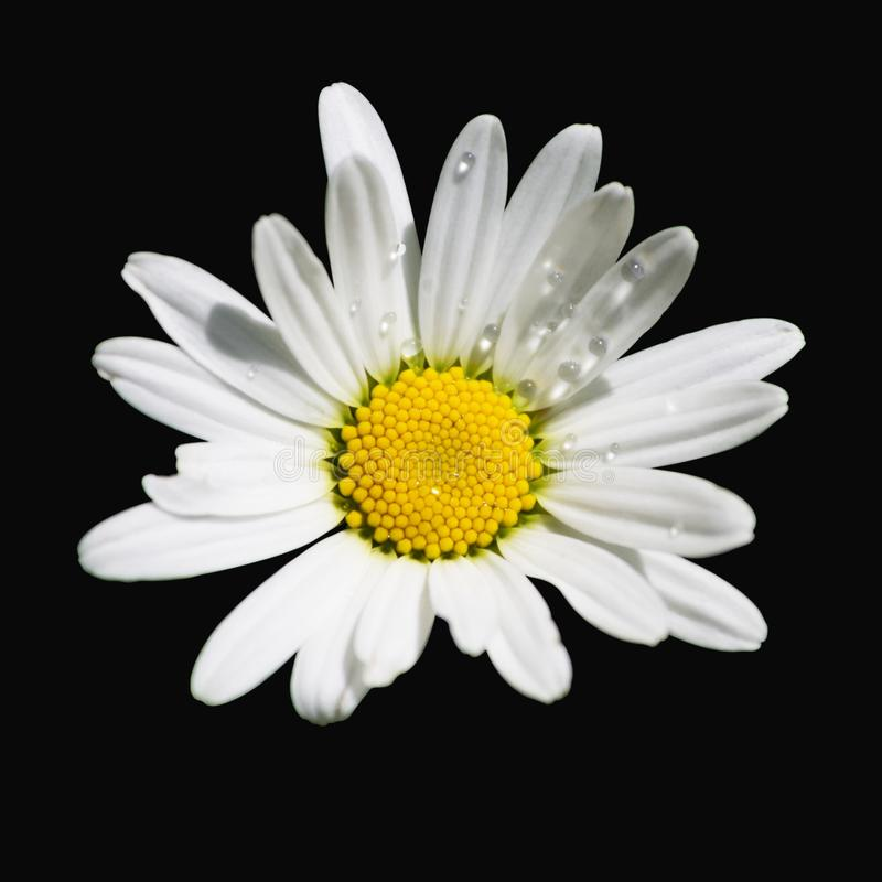Raindrops on a white daisy, on a black background, isolated stock photo