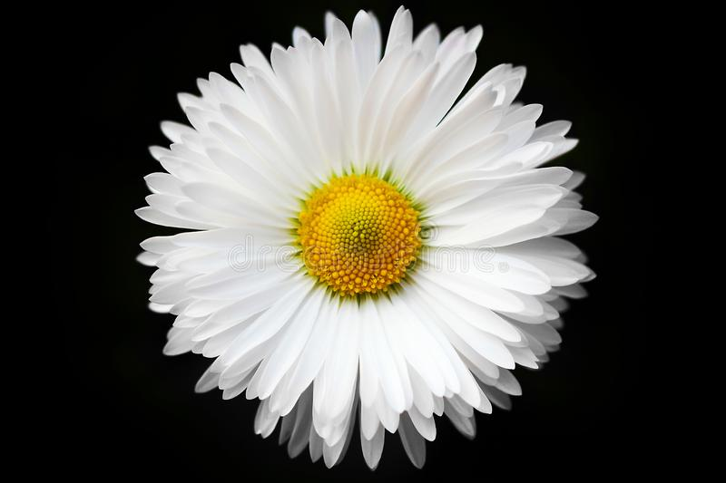 Raindrops on a white daisy, on a black background, isolated. royalty free stock image