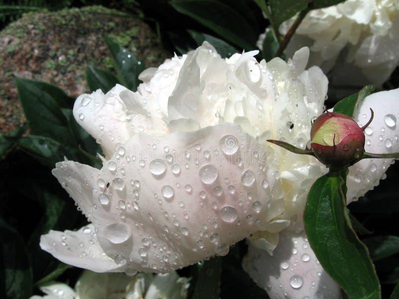 Raindrops on the white peony royalty free stock photo
