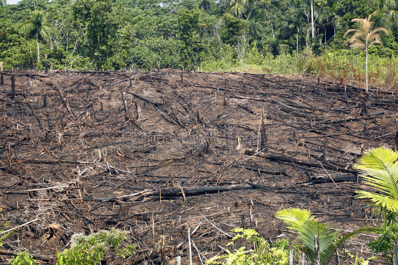 Rainforest burned for agriculture stock photo