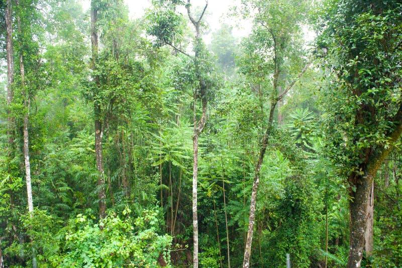 Rainforest i mist, djungel, Rainforest, Daintree skog nära Cairnes, grön djungel, Queensland, Australien royaltyfri fotografi