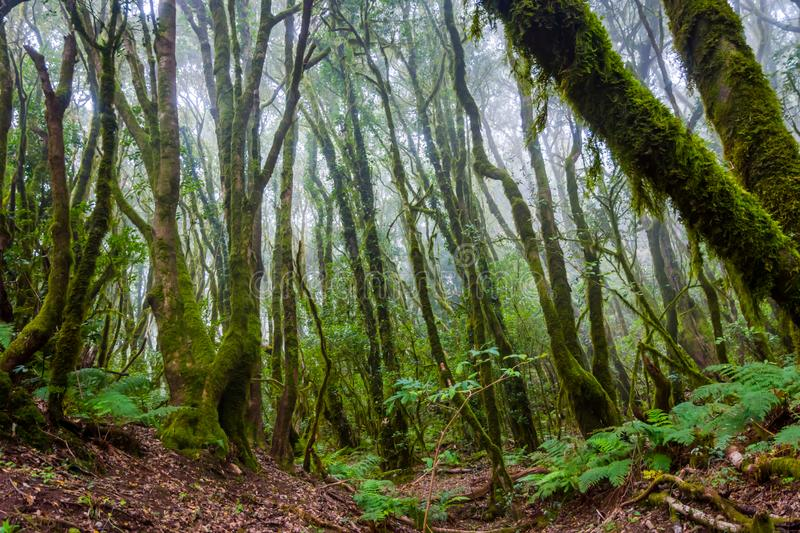 Rainforest, La Gomera. Green and mossy rainforest of La Gomera, Canary islands stock photos