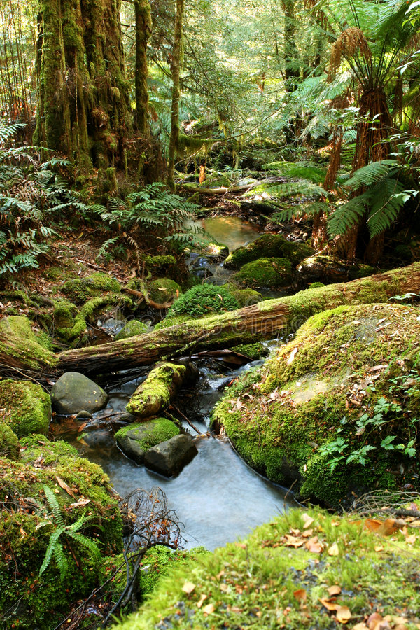 Rainforest Magic. Rainforest creek in early morning light. Victoria, Australia royalty free stock image