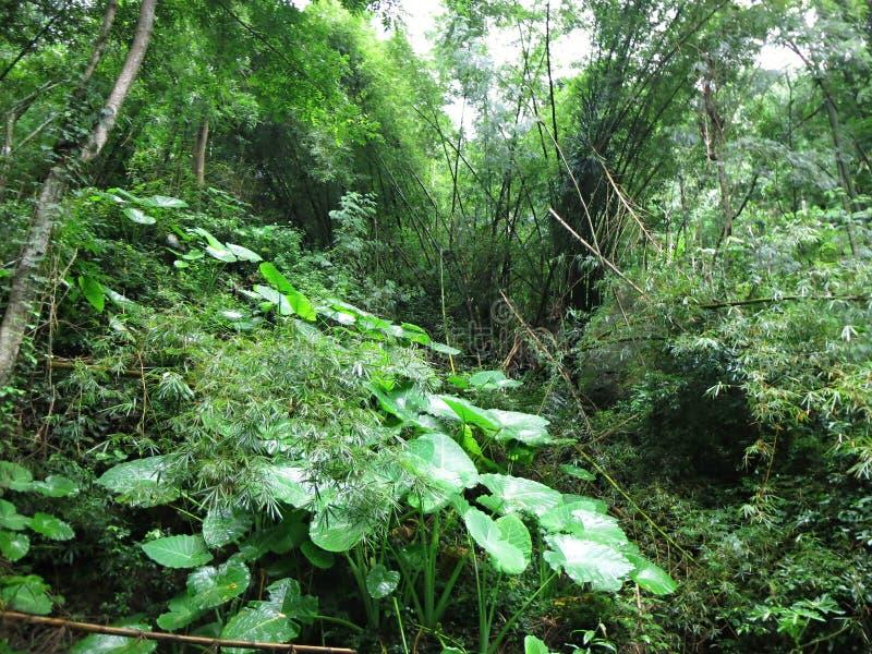 Rainforest med frodig vegetation Tropisk djungel utan mänskligt ingripande Woderful Indonesien arkivbilder