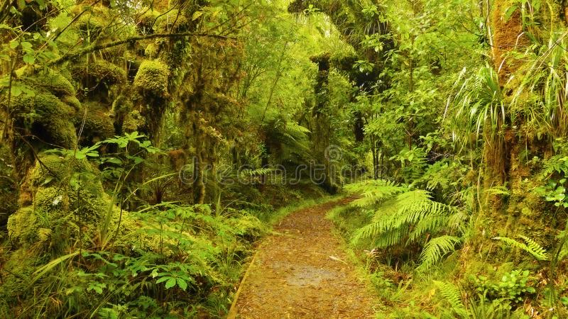Rainforest, Olympic National Park, Washington. Rainforest and plants - Hall of Mosses at sunset. The Hoh Rainforest, Olympic National Park. Washington, U. S royalty free stock photos