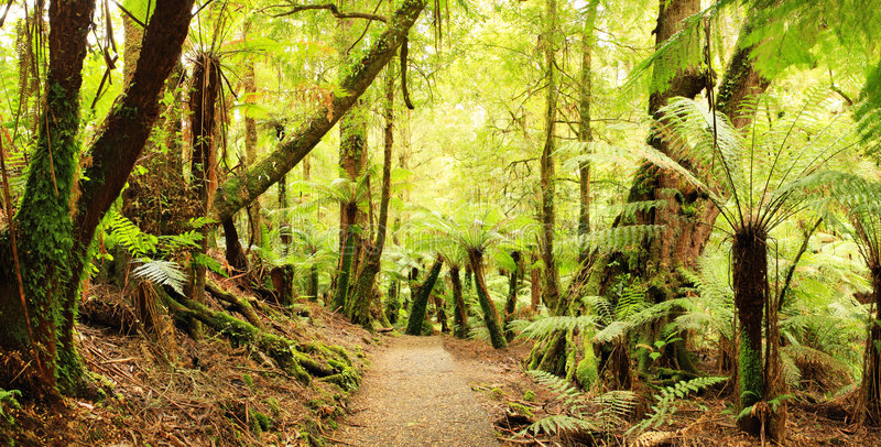 Rainforest Panorama. Panorama of path through a cool temperate rainforest, with treeferns and ancient myrtle beech trees. Victoria, Australia. XXL file stock image