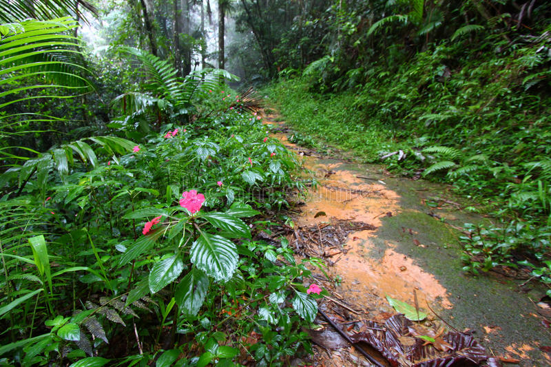 Rainforest Path Puerto Rico royalty free stock photo