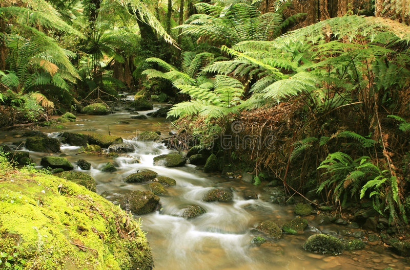 Rainforest River. A river flows softly through lush temperate rainforest. Treeferns, ancient eucalyptus trees, and mossy boulders complete a tranquil, pristine stock photos