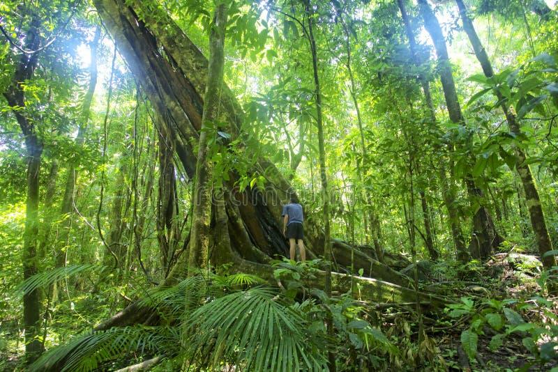Rainforest tree Mossman Gorge. Man standing next to a large rainforest tree in Mossman Gorge, Cairns Australia. Sun shining through large rainforest tree royalty free stock images